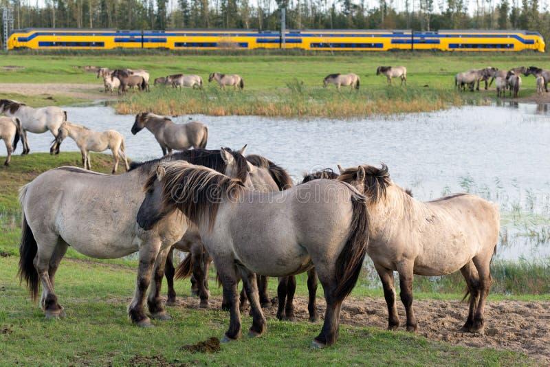 Niederländischer Nationalpark Oostvaardersplassen mit Herde von konik Pferden stockfotos