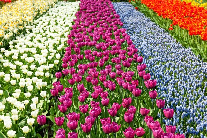 Niederländisches Birnenfeld mit bunten Tulpen stockfotografie