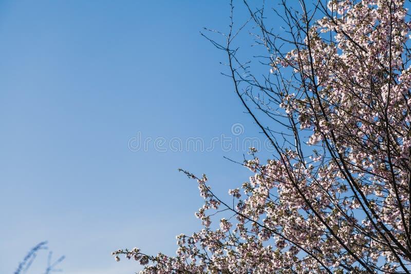 Niederlassung der blühenden Kirsche auf Hintergrund des blauen Himmels lizenzfreie stockbilder