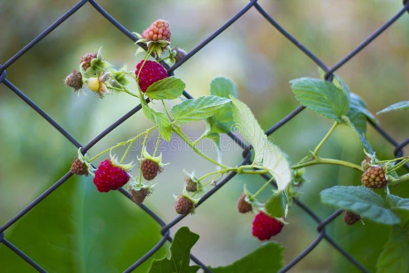 Niederlassung der Buschhimbeere mit roten Beeren im Metallzaun stockfotos