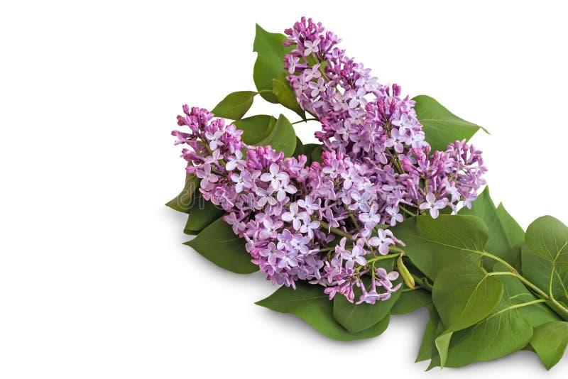 Niederlassung Der Flieder Mit Schönen Blumen Auf Einem Weißen ...
