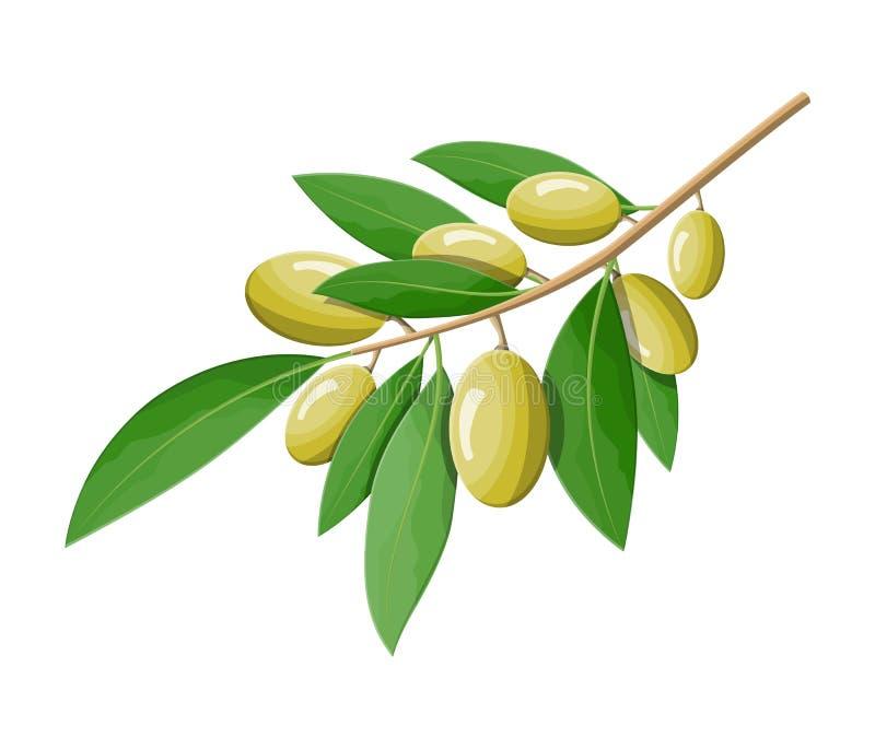 Niederlassung der grünen Oliven lokalisiert auf weißem Hintergrund vektor abbildung