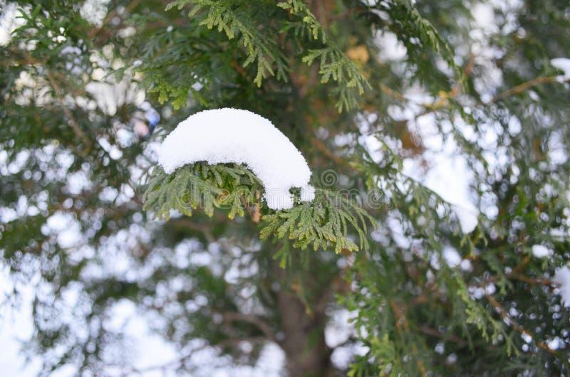 Niederlassung der grünen Zypresse unter dem Schnee lizenzfreies stockbild