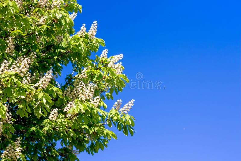 Niederlassung der Kastanie mit Blumen auf dem Hintergrund des blauen Himmels im sonnigen Wetter Kopie space_ lizenzfreie stockfotografie