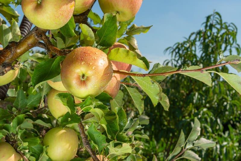 Niederlassung der reifen roten Apfelnahaufnahme Das Konzept der erfolgreichen organischen Gartenarbeit lizenzfreie stockbilder