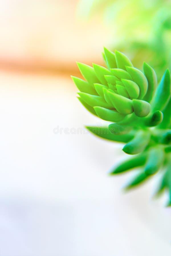 Niederlassung der saftigen schönen grünen hellen Farbe und der Weichzeichnung Pflanzen Sie Sedum Morganianum mit sinkenden Stämme lizenzfreie stockbilder
