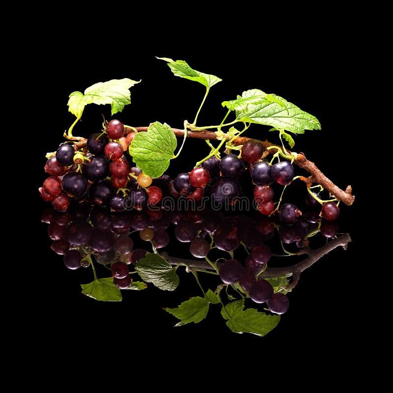 Niederlassung der Schwarzen Johannisbeere mit den Beeren lokalisiert auf Schwarzem stockfotografie