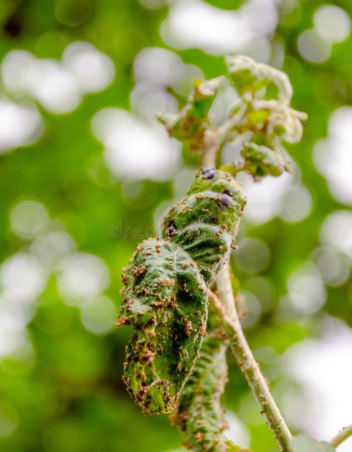 Niederlassung des Apfelbaums mit den Blättern beeinflußt durch Blattlaus stockbilder