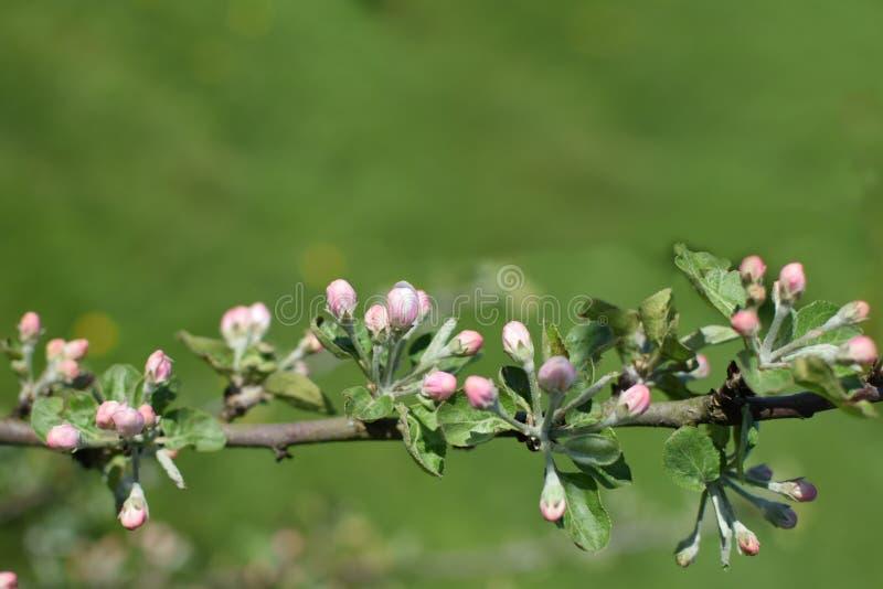 Niederlassung des Apfelbaums mit den rosa Blumenknospen stockfotos