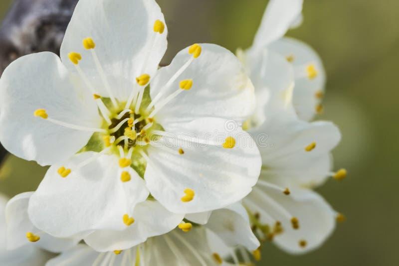 Niederlassung des Apfels in der weißen Blüte, Abschluss oben stockbild