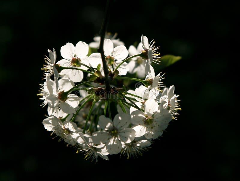 Niederlassung des blühenden Baums lizenzfreie stockfotos
