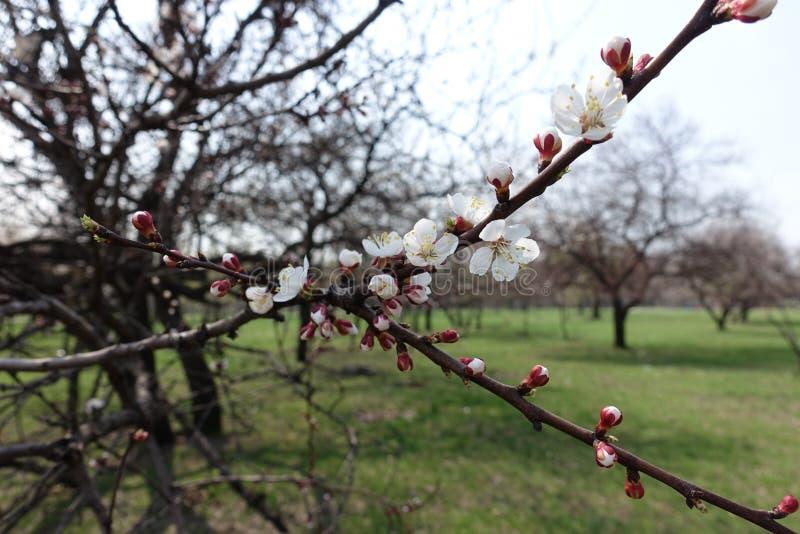 Niederlassung des blühenden Gartens der Aprikose im Frühjahr lizenzfreie stockfotografie