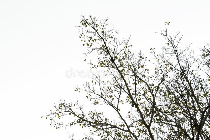 Niederlassung des Bodhi-Baumschattenbildes im Herbst der tropischen Natur an lizenzfreie stockfotos