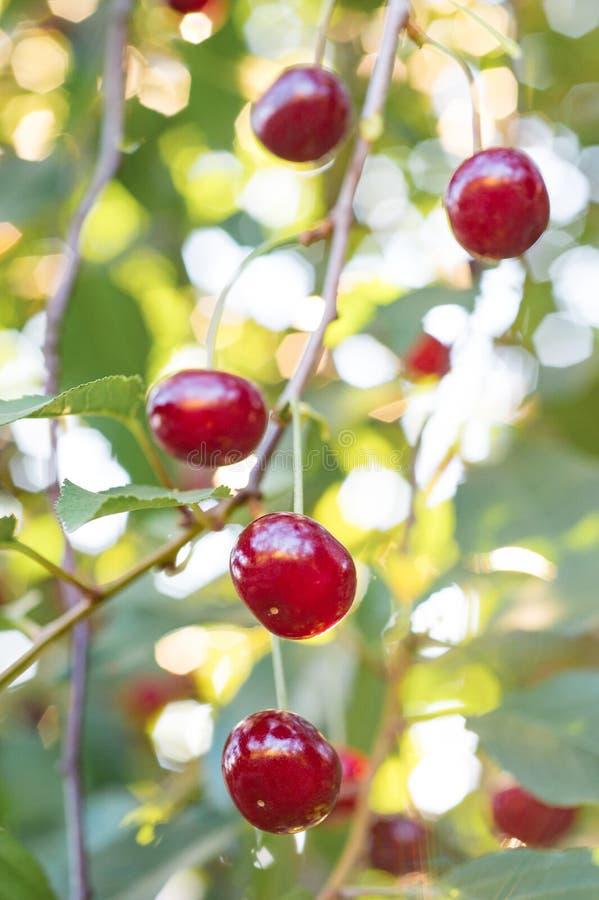 Niederlassung des Kirschbaums mit roten reifen Kirschen, Nahaufnahme frech stockbild