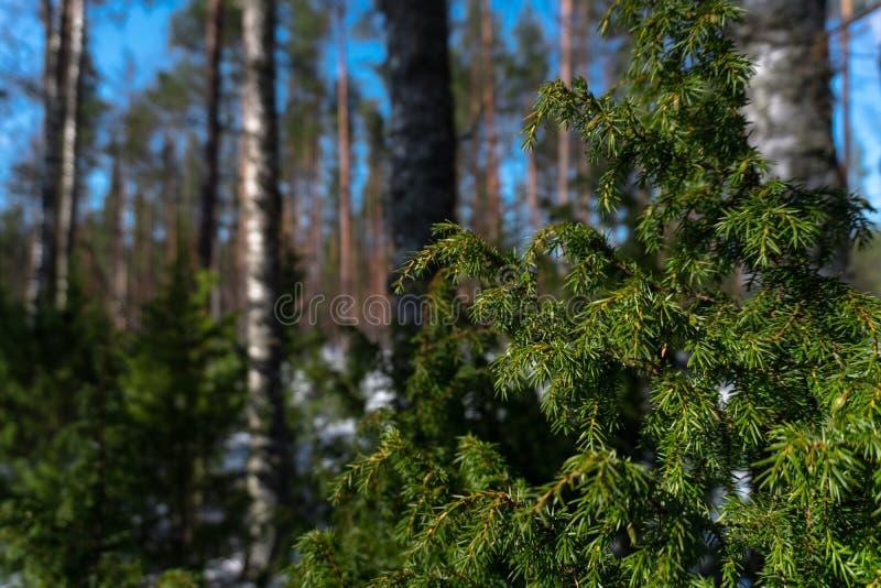 Niederlassung des Koniferenbaums mit grünen Nadeln stockfotos