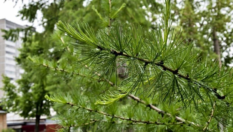 Niederlassung des Lärchenbaums mit Trieben und Regentropfen auf den Nadeln lizenzfreies stockfoto