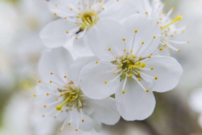 Niederlassung eines Baums mit weißen Blumen lizenzfreie stockbilder