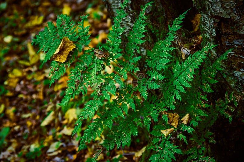 Niederlassung eines Farns in einem Herbstwald stockbilder