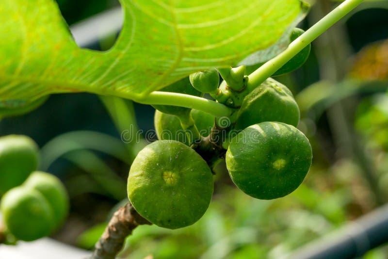 Niederlassung eines Feigenbaums Ficus Carica mit Blättern und Früchten in den verschiedenen Stadien des Reifens stockbilder