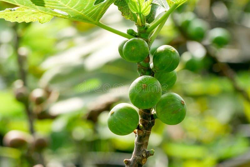 Niederlassung eines Feigenbaums Ficus Carica mit Blättern und Früchten in den verschiedenen Stadien des Reifens lizenzfreie stockfotografie