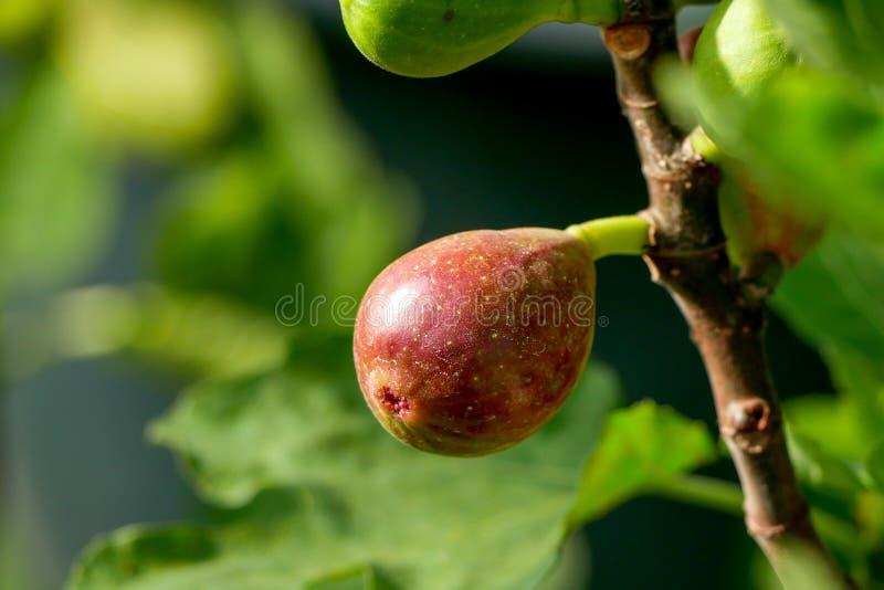 Niederlassung eines Feigenbaums Ficus Carica mit Blättern und Früchten in den verschiedenen Stadien des Reifens lizenzfreie stockfotos