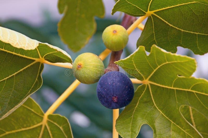 Niederlassung eines Feigenbaums mit Blättern und Früchten in den verschiedenen Stadien des Reifens stockfotografie