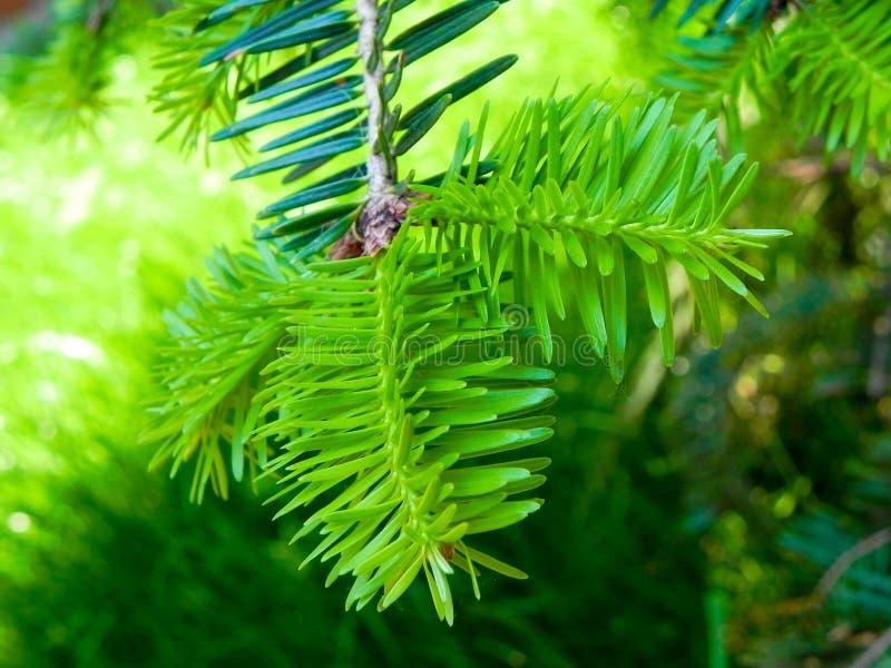 Niederlassung eines Weihnachtsbaums lizenzfreies stockbild