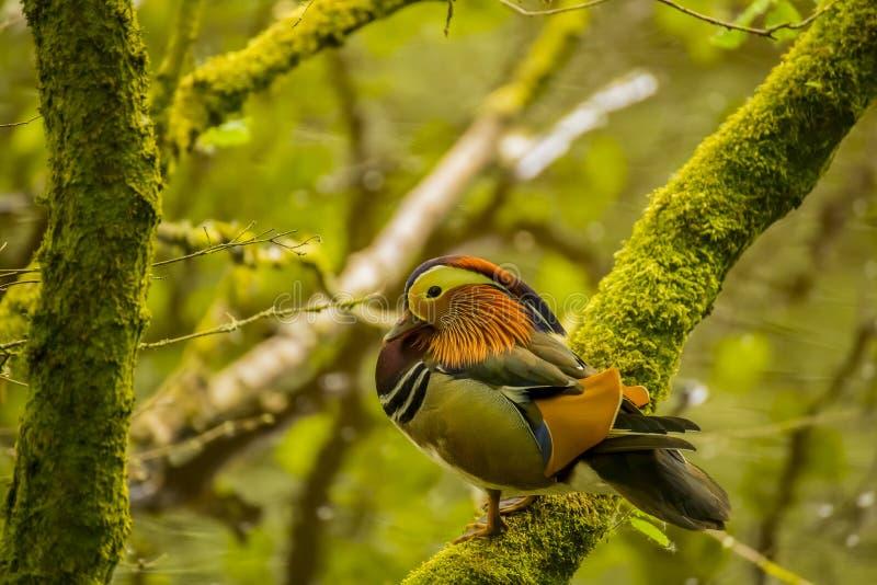 Niederlassung Mandarinen-Duck Standing Ons A nahe einem Fluss stockbild