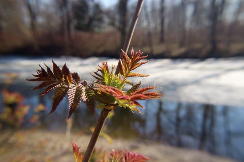 Niederlassung mit jungen Blättern im Frühjahr unter der Sonnenmakrophotographie stockfotografie