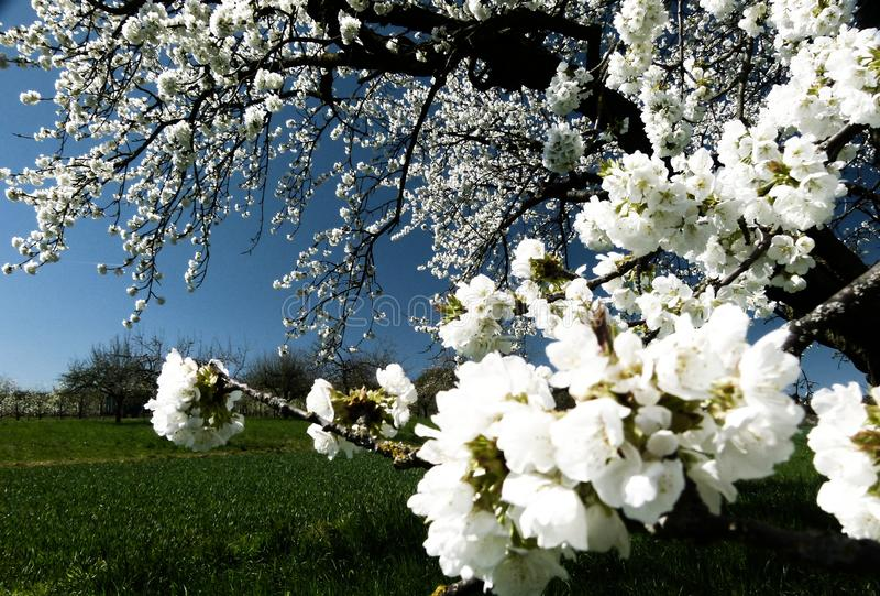 Niederlassung mit schneeweißen Kirschblüten und blauem Himmel als Hintergrund 1 lizenzfreies stockfoto