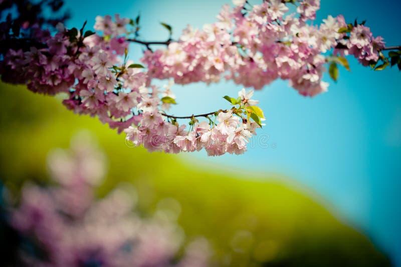 Niederlassung Sakura Pink Cherry Blossoms gegen klaren blauen Himmel stockbilder
