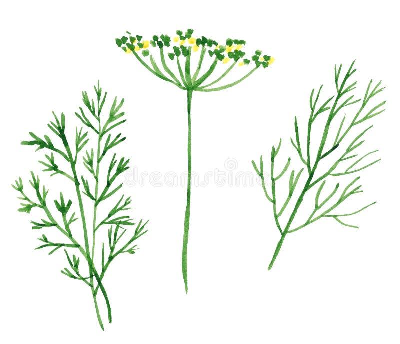 Niederlassung und Blumen von Kräutern, von Fenchel und von Dill stock abbildung