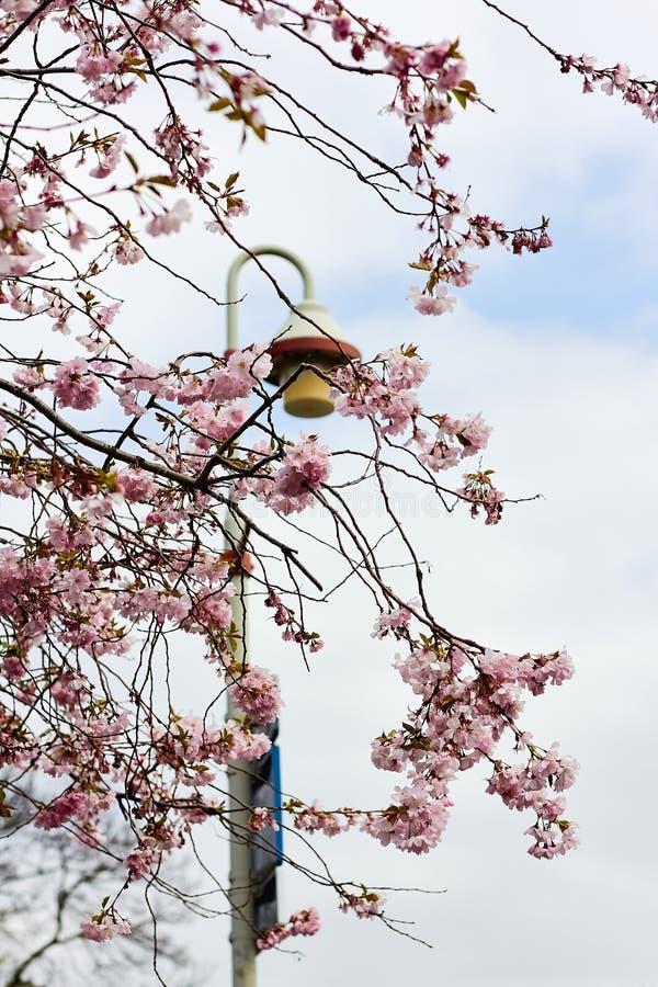 Niederlassung von blühenden Kirschblüten mit einer Laterne und einem blauen Himmel als Hintergrund lizenzfreie stockbilder