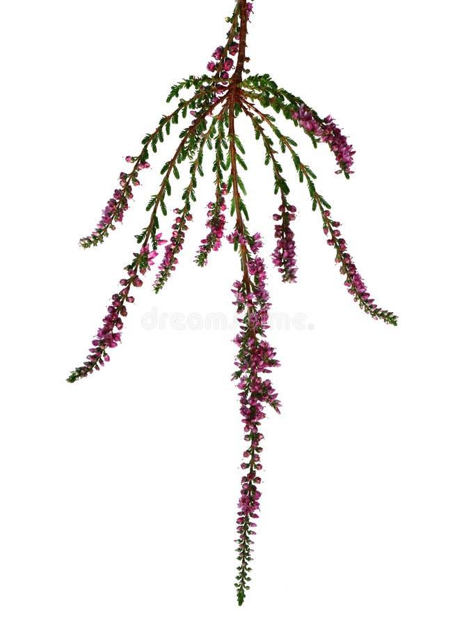 Niederlassung von Briar mit den kleinen Blumen lokalisiert auf Weiß stockfoto