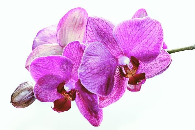 Niederlassung von den rosa Orchideen lokalisiert lizenzfreie stockfotografie