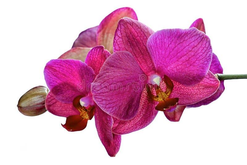 Niederlassung von den rosa Orchideen lokalisiert lizenzfreies stockfoto