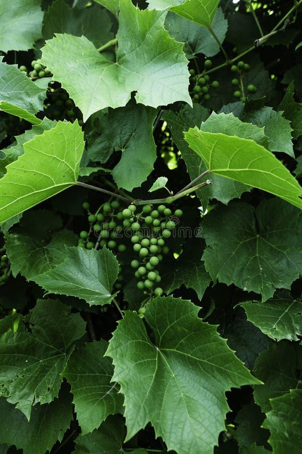 Niederlassung von grünen Trauben stockfotos