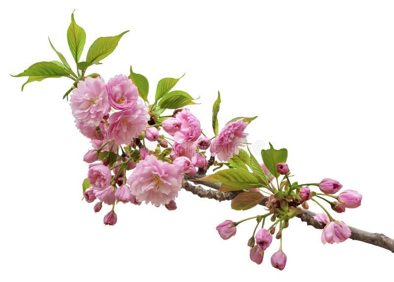 Niederlassung von Kirschblüte-Blüten, lokalisiert auf einem weißen Hintergrund stockfotografie