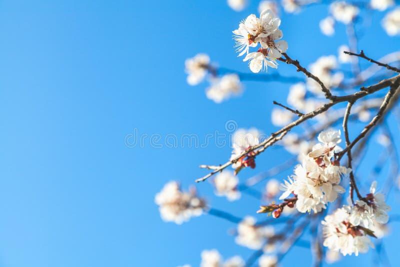 Niederlassung von Kirschblüten gegen blauen Himmel stockbilder