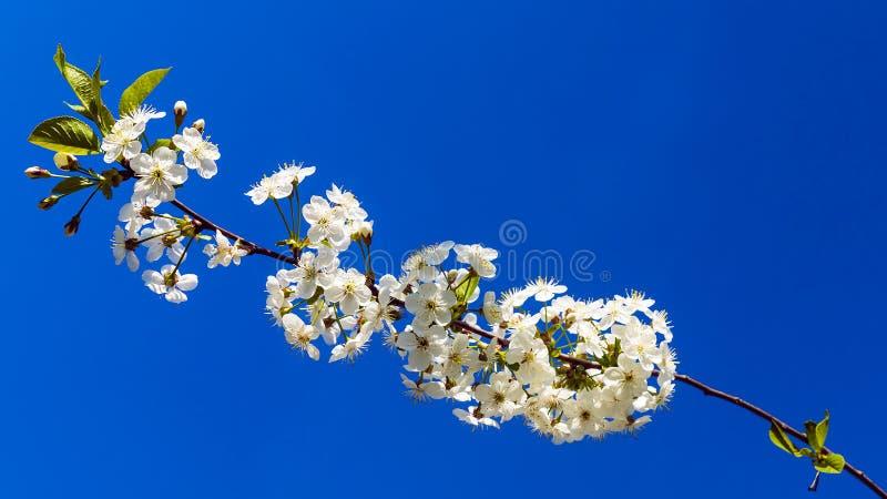 Niederlassung von Kirschblüten gegen einen blauen Himmel lizenzfreie stockfotos
