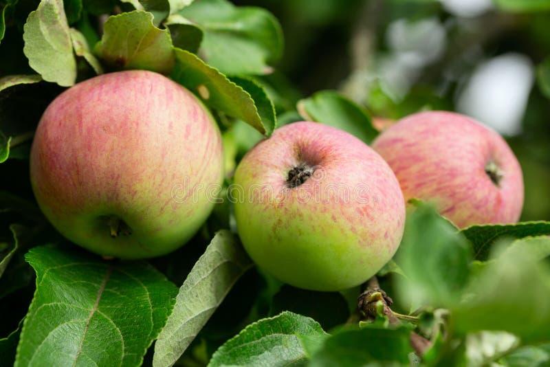 Niederlassung von reifen Äpfeln auf einem Baum lizenzfreie stockbilder