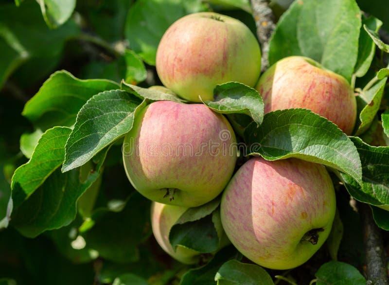Niederlassung von reifen Äpfeln auf einem Baum stockfotografie