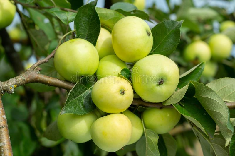 Niederlassung von reifen Äpfeln auf einem Baum lizenzfreie stockfotografie