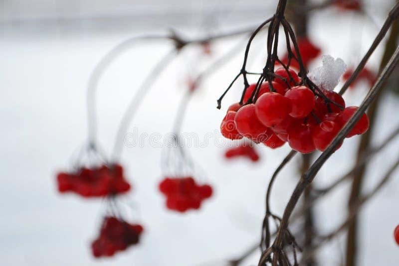 Niederlassung von roten Beeren lizenzfreie stockbilder