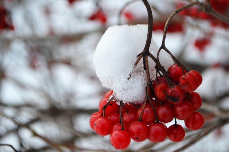 Niederlassung von roten Beeren stockbilder