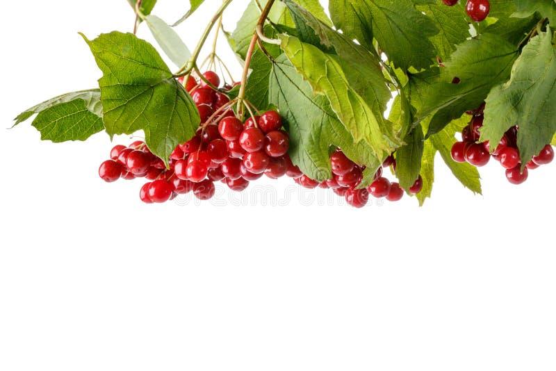 Niederlassung von roten Viburnumbeeren mit den Blättern lokalisiert auf Weiß lizenzfreies stockfoto