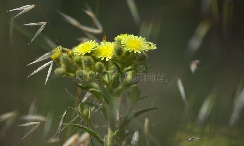 Niederlassung von Senecio in voller Blüte stockbilder