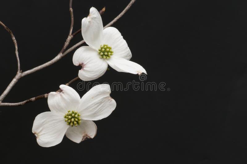 Niederlassung von weißen Hartriegelblüten stockbilder