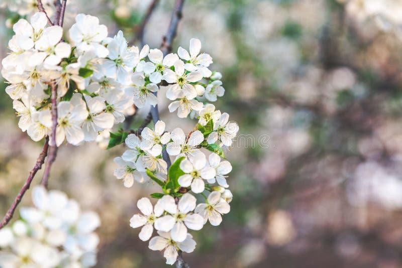 Niederlassung von weißen Kirschblüten lizenzfreie stockfotografie