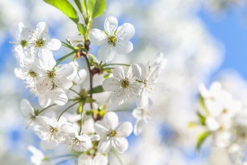 Niederlassung von weißen Kirschblüten und von jungen grünen Blättern stockfotografie